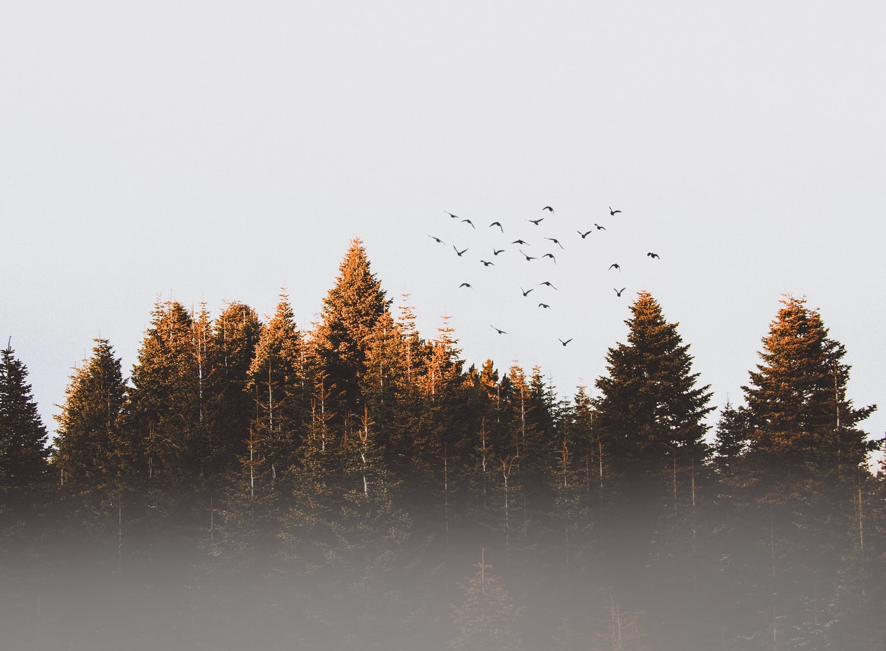 A flock of birds fly over trees.